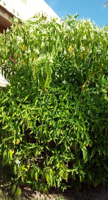 arbuste fleur 18n8od