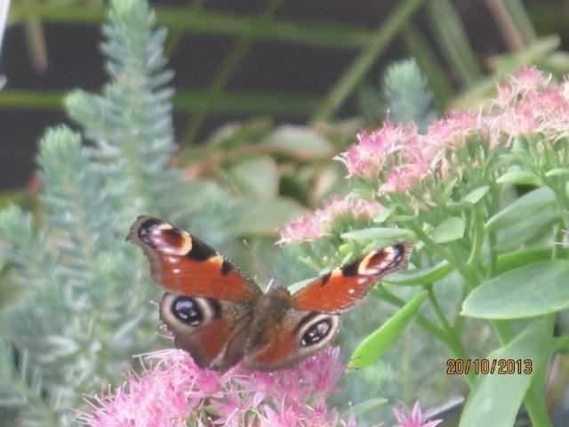 papillons sur nos fleurs  08gcu4