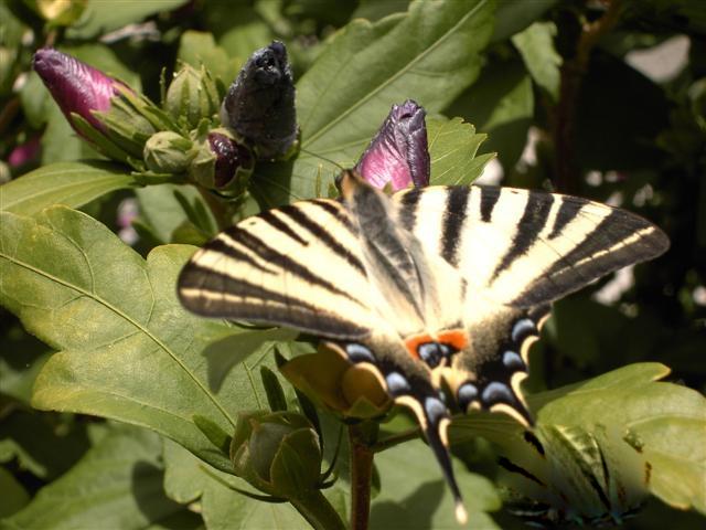papillons sur nos fleurs  08j8i9