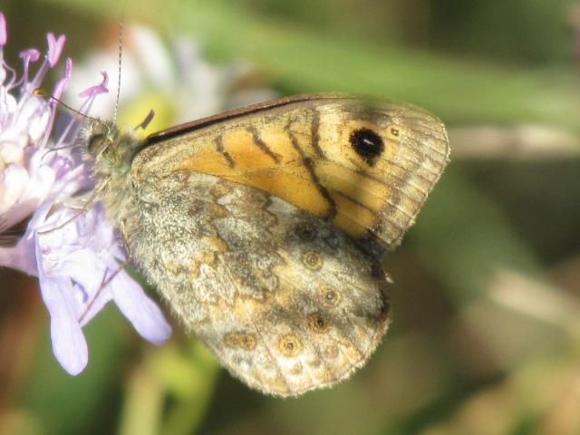 papillons sur nos fleurs  08zstj