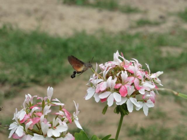 papillons sur nos fleurs  1034s4