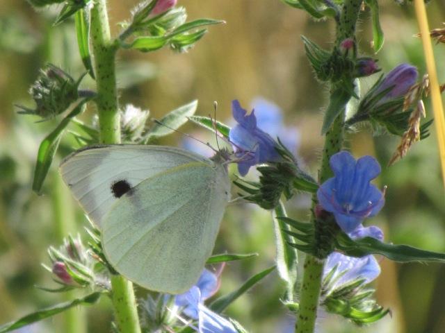 papillons sur nos fleurs  - Page 2 103xg0