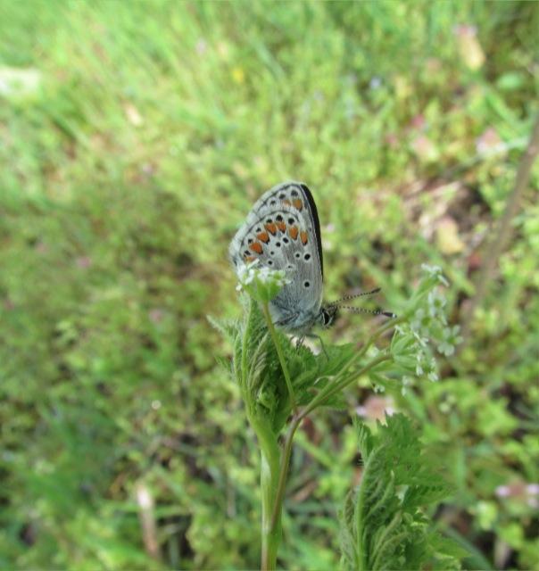 papillons sur nos fleurs  - Page 2 106jnu