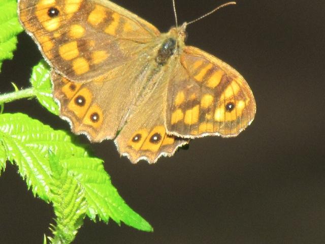 papillons sur nos fleurs  - Page 2 10dfls