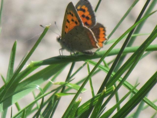 papillons sur nos fleurs  - Page 2 10f8d5