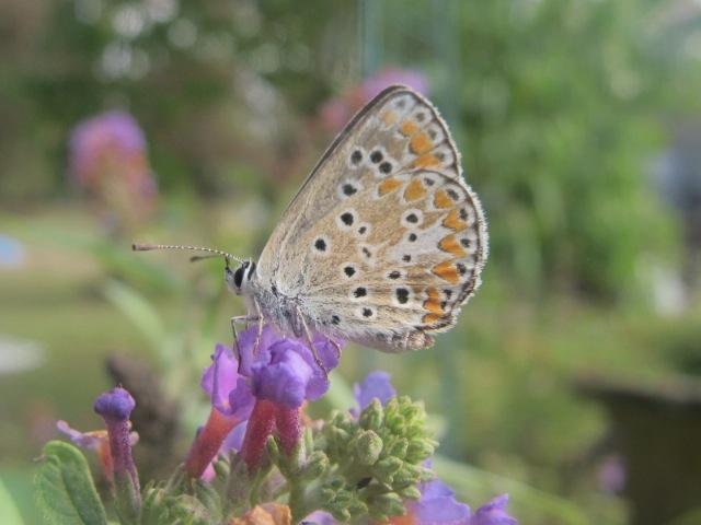 papillons sur nos fleurs  - Page 2 10mjwm