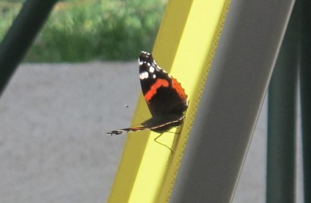 papillons sur nos fleurs  - Page 2 10ppus