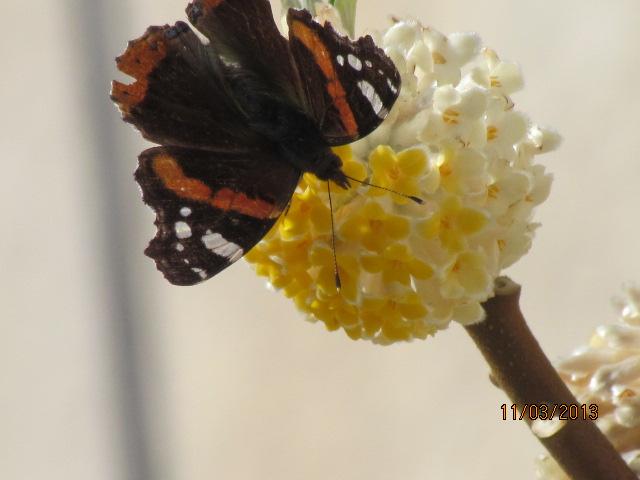 papillons sur nos fleurs  - Page 2 10qsjf