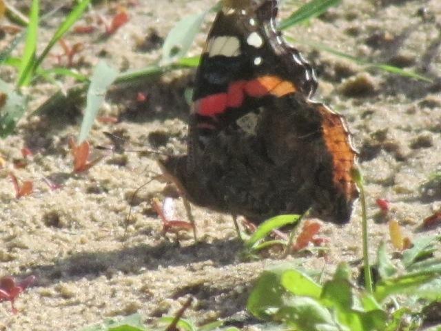 papillons sur nos fleurs  - Page 2 10rmoz
