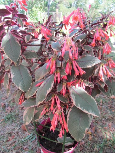 Fuchsia ? : Fuchsia triphylla 'Firecracker 19iuz7
