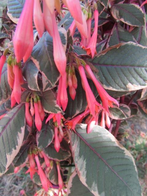 Fuchsia ? : Fuchsia triphylla 'Firecracker 19piyz