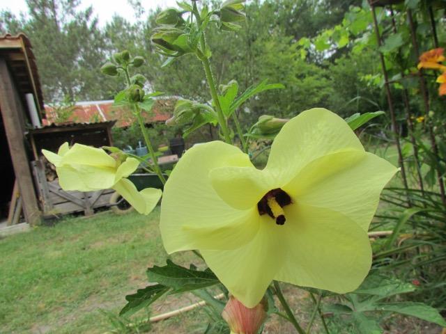 Hibiscus Manihot 169js3