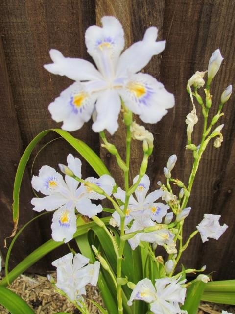 Iris du Japon 206dm4